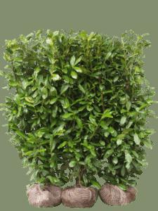 17 – Kirsebærlaurbær Novita
