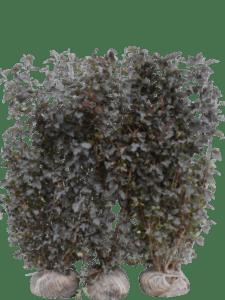 Blærespiræa Diabolo