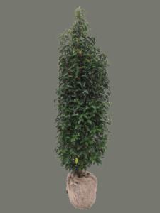 Angustfolia 140-160