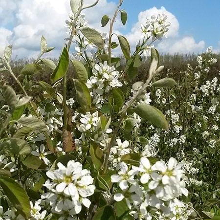 Bærmispel Aks blomster
