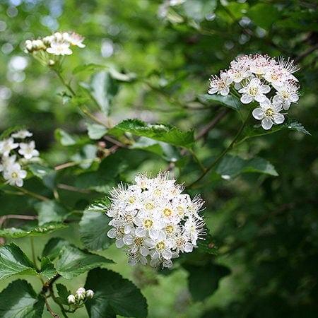 Blærespiræa blomster