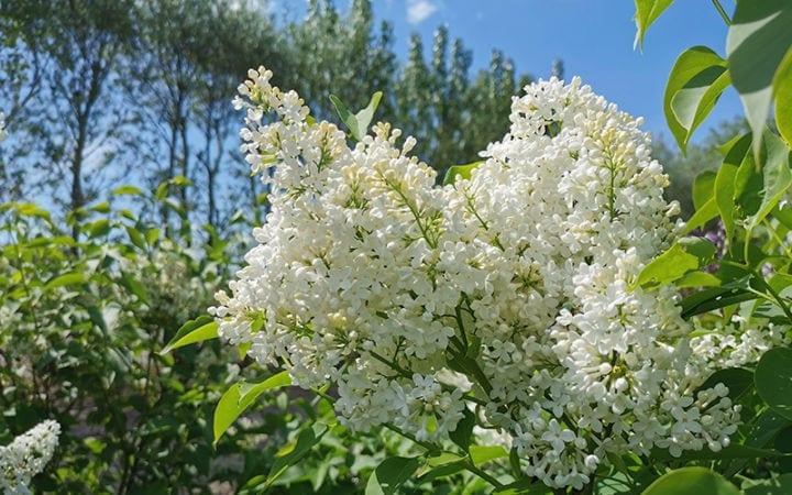 Hvid syren alba blomster