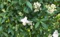 Liguster Liga blomster