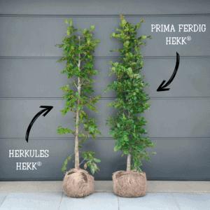 PRIMA FERDIG HEKK vs. HERKULES HEKK