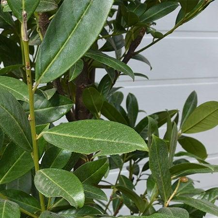 Prunus Greentorch