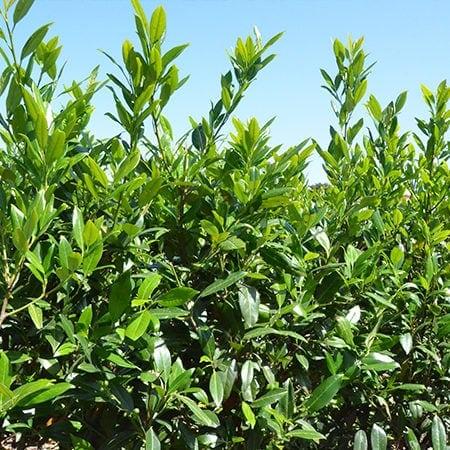 Prunus l. Herbergii