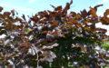 Rødbøg blade