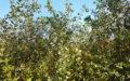 Spirea vanhouttei efterår
