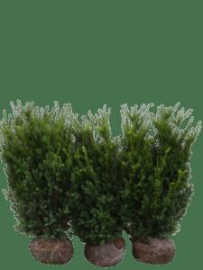 Taxus Hilli
