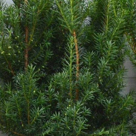 Taxus baccata Brande Select