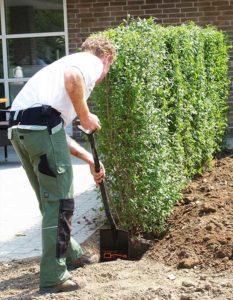 Planting av ferdige hekker