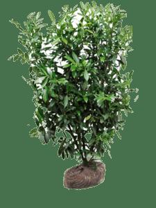 Herbergii solitær buske